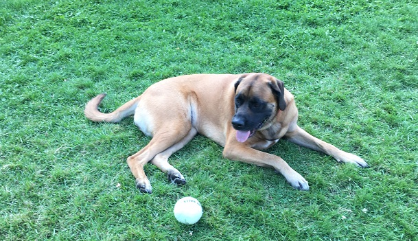 Lilly, a Mastiff, tried out our extra-large tennis ball