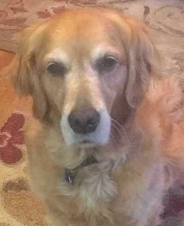 Cali, a golden retriever, looks very sad
