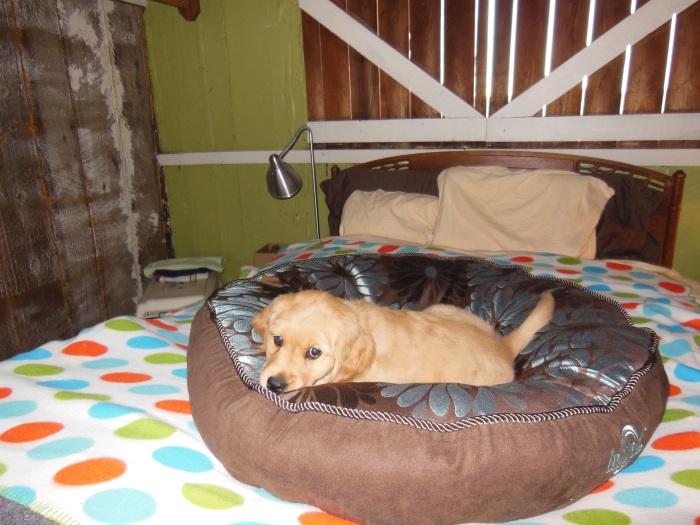 10-week old Cali, a golden retriever, lies on a brown dog bed