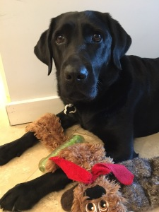 Koala, a black Lab, considers playing with one of everal toys