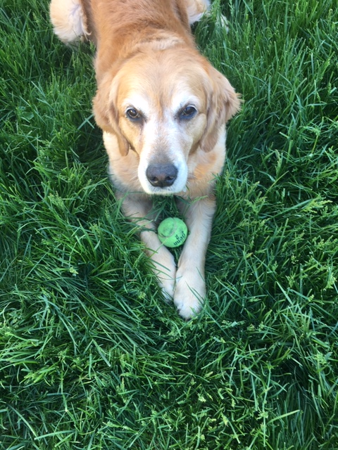 Golden retriever Cali holds on to her tennis ball