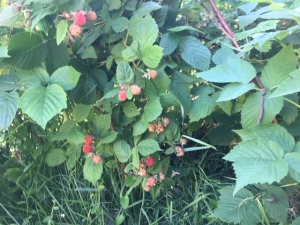 A few ripe berries on the raspberry canes