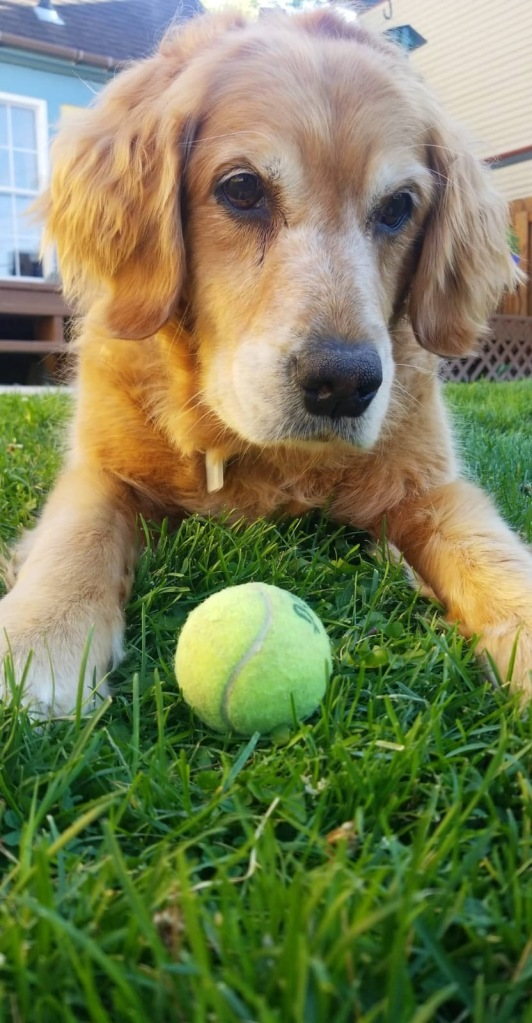 Golden retriever Cali relaxes in the grass with a tennis ball