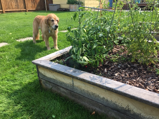 Golden retriever Cali eyes the tomato plants