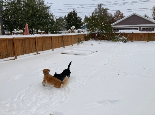 Black Labrador Koala and golden retriever Cali romp in a snowy yard