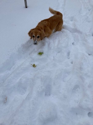 Golden retriever Cali, with snow on her nose, looks for her buried tennis ball