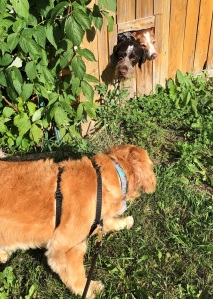 Golden retriever Cali looks at the two dogs peering through a fence window