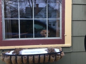 Golden retriever Cali peers out a large window