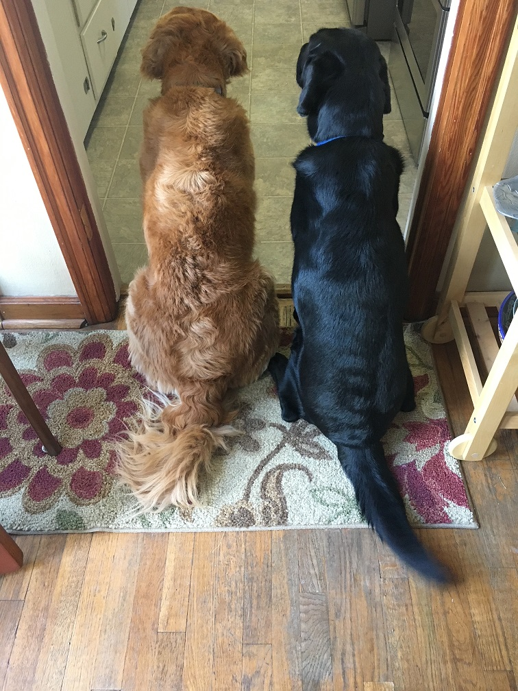 A back view of golden Cali and lab Koala as they watch the human prepare their dinner