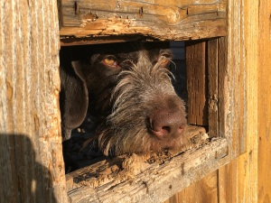 A brown dog peers through a rectangular hole in a wooden fence