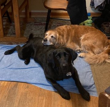 Golden Cali rests her chin on black Lab Koala's back