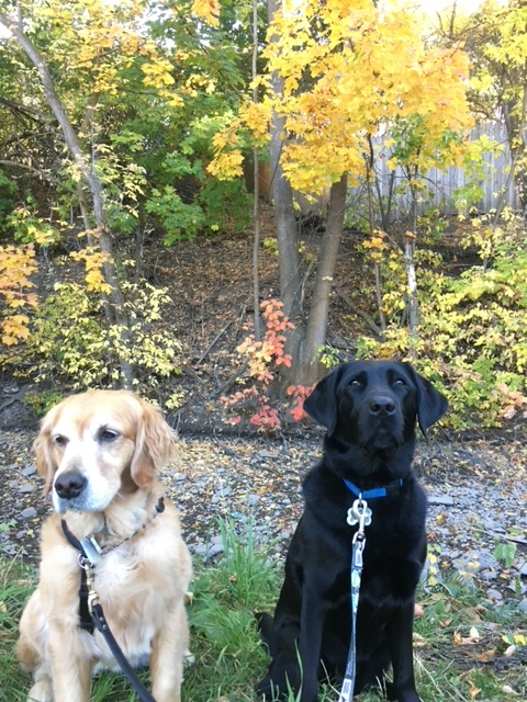 Golden Cali and Lab Koala enjoy a fall hike. On leash.