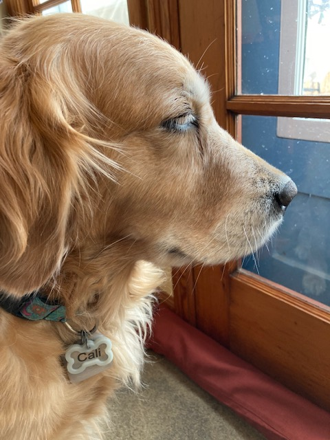 Profile of Cali, a golden retriever, and her silicone-wrapped tag
