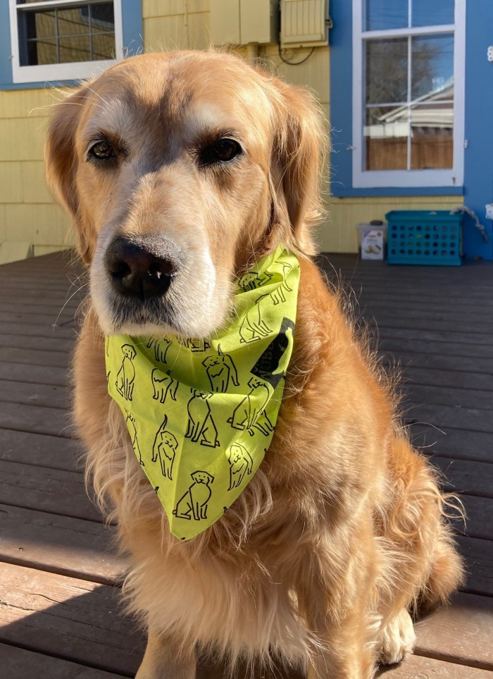 Golden retriever Cali wears her yellow Morris Foundation study bandana, with drawings of golden retrievers all over it