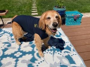 Golden retriever Cali wears a navy blue onesie