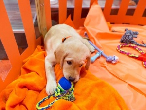 Wrangler, a yellow Lab puppy, chews on a tennis ball toy in an orange pen